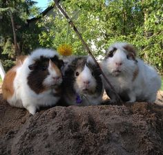 Cute guinea pig playdate!