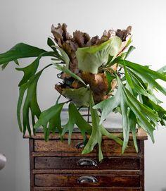 Staghorn fern I Hertshoornvaren (Platycerium)