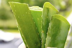 The Healing Powers of Aloe Vera & How to Use it at Home | The Paleo Mama