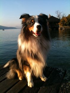 My Australian Shepherd - love him