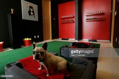Antonia Hutt created a bedroom for French bulldogs Amber Louise , and Bullitt complete with dog beds from Fineman–Brown upholstery and bright green astro turf rug from Design Spec Floor Coverings....