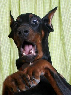 What? You gave my dinner to the cat? #Doberman Re-pinned from Forever Friends Fine Stationery Favors http://foreverfriends.carlsoncraft.com