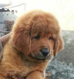 Tibetan Mastiff 'puppy'