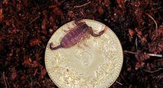 keiner zu klein, ein skorpion zu sein. 0.0.1 Euscorpius italicus i2