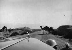 Free-roaming camels as seen from Rolls-Royce | View on the road to the Dead Sea, Palestine, 1955, Hisham Abdel Hadi. Abdel Hadi Family Collection. © Arab Image Foundation