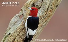 Red-headed Woodpecker (melanerpes erythrocephalus) - Kentucky Lake