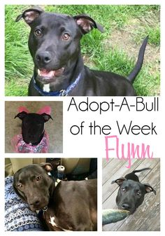 Adopt-A-Bull of The Week Flynn, currently in a Vermont foster home.