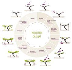 vineyard / vinegrowing calendar