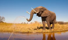 Elephants have a lot to celebrate: Ivory prices have fallen due to greater awareness about the poaching crisis and better cooperation against traffickers.