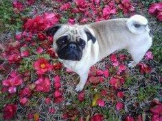 Harper a pug from Pensacola, Florida Garden and Gun Good Dog Photo Contest