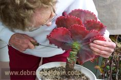 Got an overgrown echeveria, aeonium or other rosette succulent that's a rosette atop an ungainly stem? Behead it!    Cut one or two inches below the lowest leaves, let the cut end dry for a day or two, then replant in good soil (potting mix).