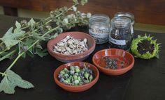 Wenn Mohn, Akelei und Lupinen verblühen und die Samenstände reifen, ist die beste Zeit, um sich um den Pflanzennachwuchs fürs nächste Jahr zu kümmern. Das sollten Sie beim Ernten und Sammeln von Blumensamen beachten.