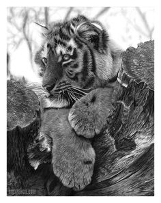 Tiger cub pencil drawing by Lisandro Pena. Such beautiful animals buts it's a shame to know that they close to extinction. Instagram: @onlypencil