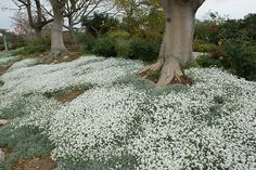 Cerastium tomentosum  ground cover