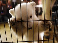 3-month-old polar bear cub at the Buffalo Zoo
