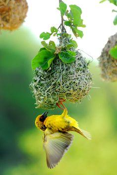 Beautiful yellow Weaver bird from Africa!Beautiful yellow Weaver bird from Africa! All Birds, Little Birds, Love Birds, Pretty Birds, Beautiful Birds, Animals Beautiful, Exotic Birds, Colorful Birds, Nester