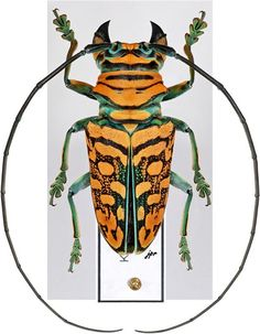 This guy would make lovely polka dots!Sternotomis strandi This guy would make lovely polka dots! Beetle Insect, Beetle Bug, Insect Art, Cool Insects, Bugs And Insects, Longhorn Beetle, Cool Bugs, Beautiful Bugs, Patterns In Nature