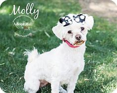 Los Angeles, CA - Maltese Mix. Meet Molly, a dog for adoption. http://www.adoptapet.com/pet/12864676-los-angeles-california-maltese-mix