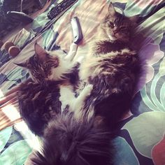 These two made sure to turn the TV off when you left, so your electricity bill wouldn't be so high this month. | The Secret Thoughts Of 27 Maine Coon Cats