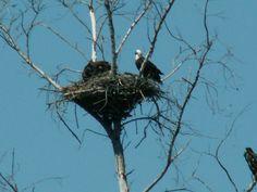 Eagle nest on Sanibel. Eagle Nest, Bird Nests, Kinds Of Birds, Green Valley, Sanibel Island, Beach Fun, Key West, Eagles, Bald Eagle