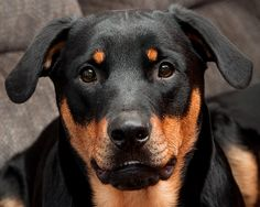 oh man, that face. I love Rotties!