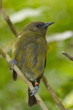 Korimako - bellbird - Anthornis melanura by Steve Attwood, via Flickr Kiwiana, Bird Artwork, Nature Journal, Military Men, Bird Drawings, Reptiles And Amphibians, Flora And Fauna, Colorful Birds, Bird Species