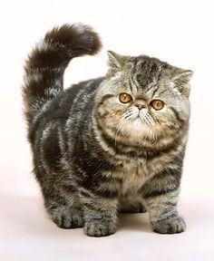 Persian Cat Haircut Long Haired Cat Breeds - some of the best long haired cat breeds out there that will give you a look into the idea that you are going to be able to get the inspiration. Cute Cats And Kittens, Cool Cats, Kittens Cutest, Cat Haircut, Haircut Long, Chat Maine Coon, Animal Gato, Exotic Cats, Exotic Shorthair