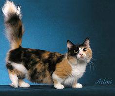 munchkin gato anão-Os gatos desta raça não têm uma coloração específica, mas sim uma mutação genética que faz com que as patas sejam muito curtas, um problema chamado de acondroplasia. São gatos anões. Esta diferença no corpo dos gatos não afeta o jeito que eles andam e correm, mas a sua genética traz alguns outros problemas: aqueles que nascem com duas cópias do gene Munchkin não sobrevivem.
