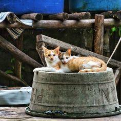 While the typhoon spoils our time in El Nido canceling all the boat trips around here we admire our neighbor's cats chilling in their backyard! Enquanto o tufão estraga nossa estadia em El Nido cancelando todos os passeios de barco por aqui a gente aproveita para admirar esse gatos super fofinhos no quintal da nossa vizinha!  #cats #gatos #justchilling #elnido #typhoon #rainnyday #notourABCD #whereisthesun #palawan #philippines #filipinas #visitphilippines #soulofthephilippines #SlowSpirit