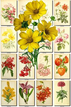 FLOWERS-143 Collection of 210 vintage images Bigelow coreopsis tickseed Coreopsis Daphne botanical pictures High resolution flower digital by ArtVintage1800s on Etsy