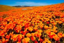 California Poppy Field mural- hall