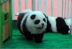 IdeaFixa » Cachorro-panda