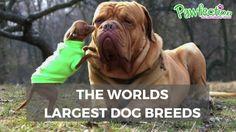 Worlds Largest Dog, Large Dog Breeds, Big Dogs, French Bulldog, Campaign, Channel, Animals, Medium, Amazing