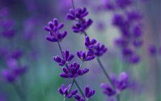 сиреневые, цветы, фиолетовые, Лаванда, макро