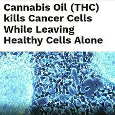 Cannabis kill cancer cell   #cannabissativa #cannabis#marijuana#popquiz#fun#happy#cannabiscommunity #weed#happy420#stonner#smartstoner#medicalmarijuana #follow#thegimmicks#like#me#legalizeit#ganja#legal#thc#cbd #cbdoil#plant#herbs#organic