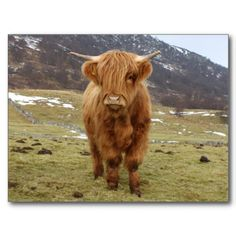Highland Cattle have to be the cutest cows in the world! There is a herd not too far from me and they always make me smile.
