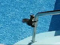 Stunned squirrel in pool