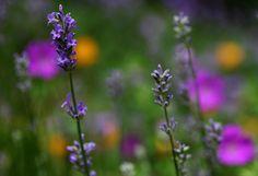 Common lavender / Echter Lavendel (Lavandula angustifolia)