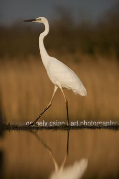 Great egret walking by Gergely Csigo on 500px