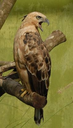 An Indonesian endemic, the Javan hawk-eagle occurs in humid tropical forests of Java. It is the national bird of Indonesia. Kinds Of Birds, All Birds, Love Birds, Pretty Birds, Beautiful Birds, Animals Beautiful, Birds Of Prey, Exotic Birds, Colorful Birds