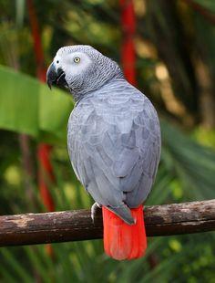 African Grey Parrot.