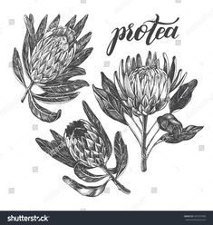 Ink hand drawn set of exotic protea flowers. Botanical elements collection for design, Vector illustration. Protea Art, Protea Flower, Pyrography Designs, Lino Art, Flower Sleeve, Vintage Heart, Flower Tattoo Designs, Linocut Prints, Botanical Art