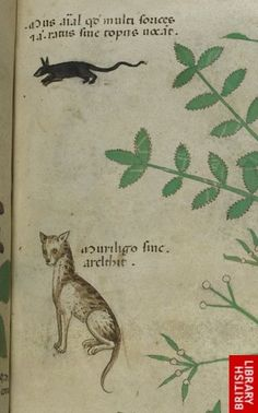 Rat and cat  Detailed record for Sloane 4016  Title	Herbal  Origin	Italy, N. (Lombardy)  Date	 c. 1440  Language	 Latin  Script	Gothic  Decoration	Full-page miniatures of plants in colours, usually predominantly in green and brown, with captions and often with animals or people, on each folio.