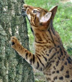 Cheetoh my future cat!