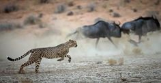 Cheetah Hunt Photo by Andre Marais — National Geographic Your Shot