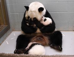 This mama panda is so excited to meet her cubs, and they are clearly ready to spend time with her, too! The Atlanta Zoo's panda-cam has given us a touching look at these adorable animals! Like Animals, Cute Baby Animals, Animals And Pets, Funny Animals, Panda Cam, Panda Love, Tiny Panda, Baby Panda Bears, Baby Pandas