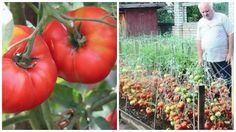 Secretul care te ajută să îți crești producția la roșii. O rețetă veche, sovietică, este în atenția cultivatorilor de tomate din România care s-au documentat din mai multe surse și au a