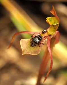 Turtle-orchid: Chiloglottis seminuda - An Australian Native - Blue Mountains National Park; Pic by Jan Mohandas