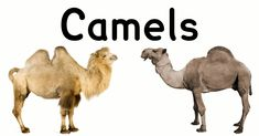 Image result for 2 kinds of camel camel