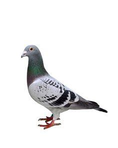 Messengers - Pigeon, Geoff Weston